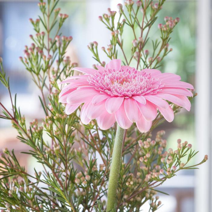 Gerbera ist eine pflegeleichte Zimmerpflanze