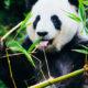 Nicht nur Pandas lieben Bambus – So nachhaltig ist der grüne Alleskönner