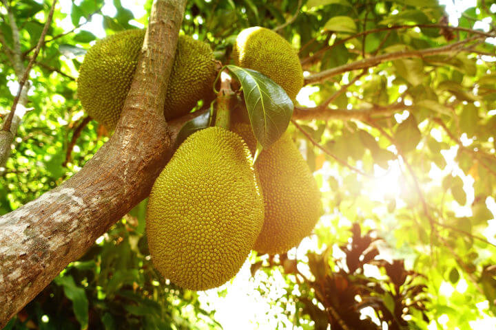 Junes Jackfrucht