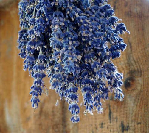 Lavendel für Trockensträuße