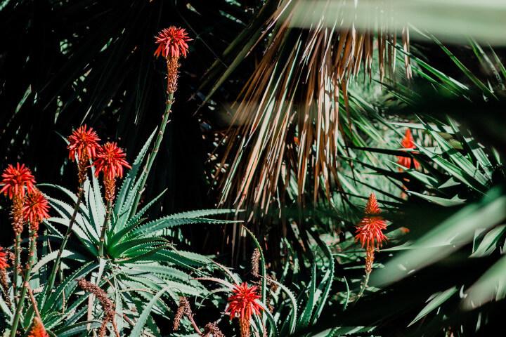 OKF Aloe Vera Pflanze